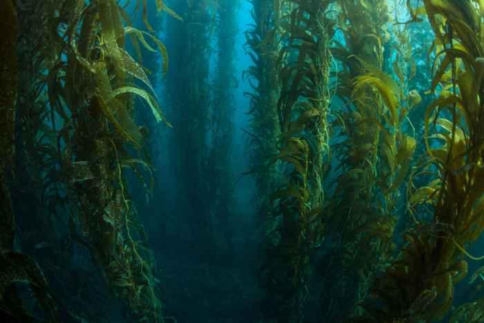 bosque de algas marinas