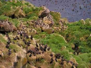 colonia de mérgulos en las Aleutianas