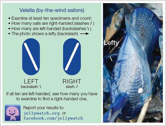 dimorfismo de la medusa Velella velella