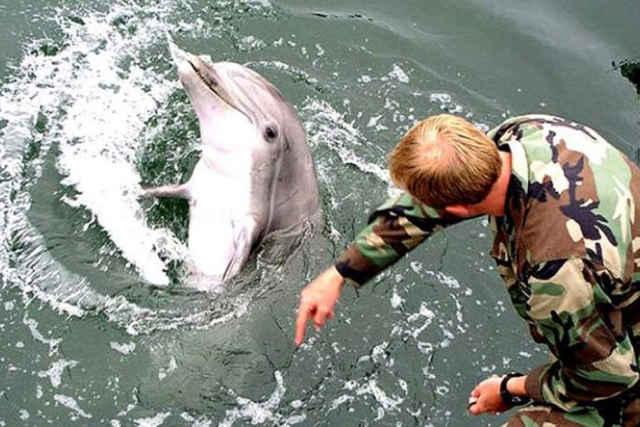 entrenamiento militar a un delfín
