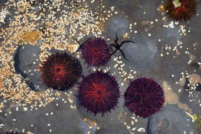 erizos de mar púrpura