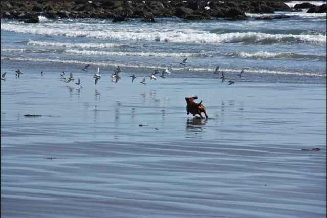 perro persigue aves marinas