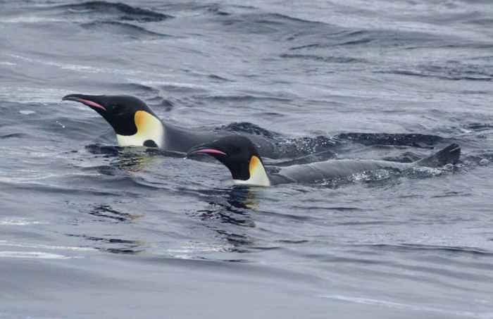 pingüinos emperador en el agua