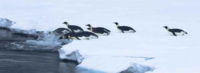 inmersión de pingüinos emperador