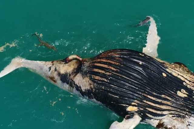tiburones y cocodrilo devoran una ballena