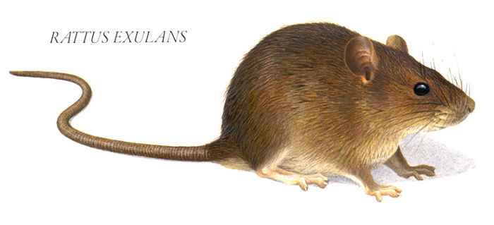 Rattus exulans