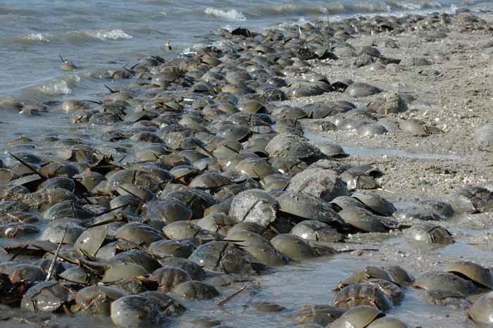 cangrejos de herradura en la bahía de Delaware