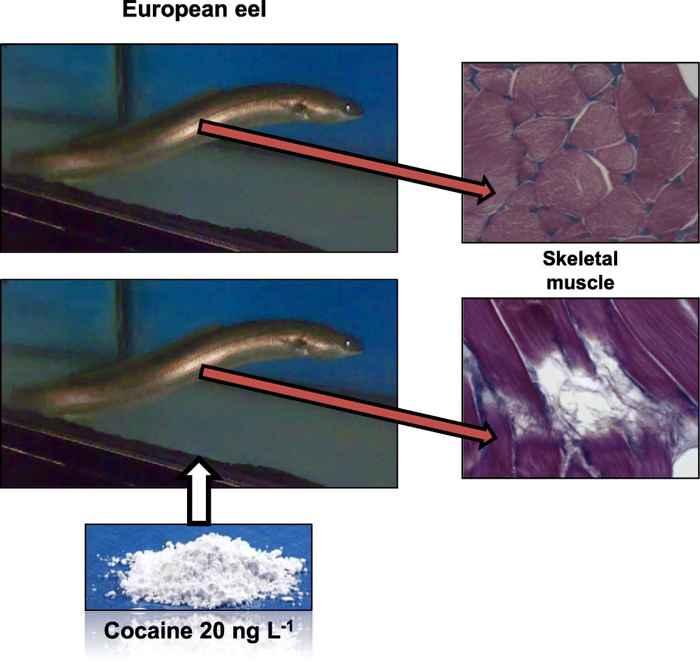 daños en el músculo de la anguila por la cocaína