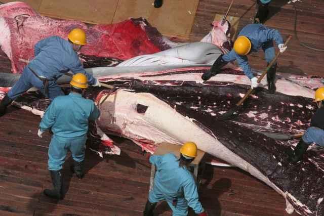 despiece de una ballena por Japón