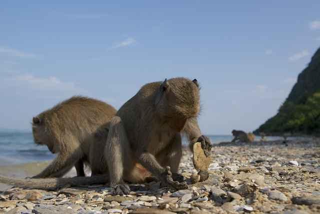 macacos rompiendo conchas