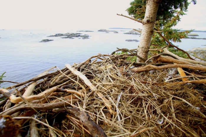 nido de águila con algas marinas