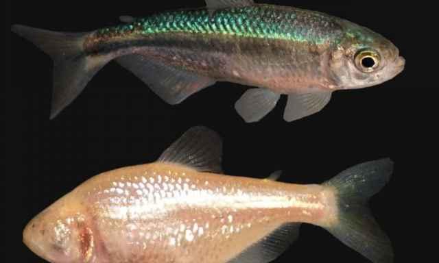 peces de las cavernas con y sin ojos