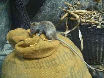rata del Pacífico (Rattus exulans)