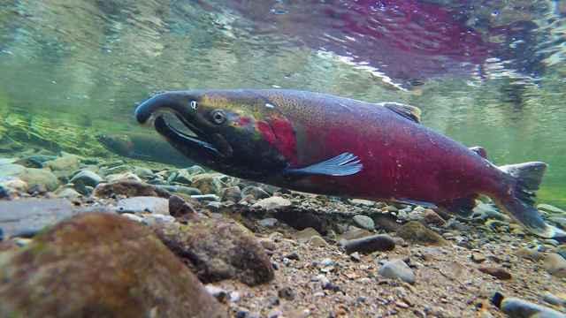 salmón silvestre desovando