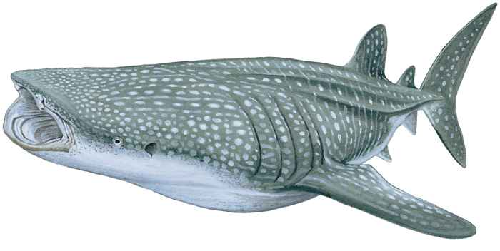 tiburón ballena (Rhincodon typus)