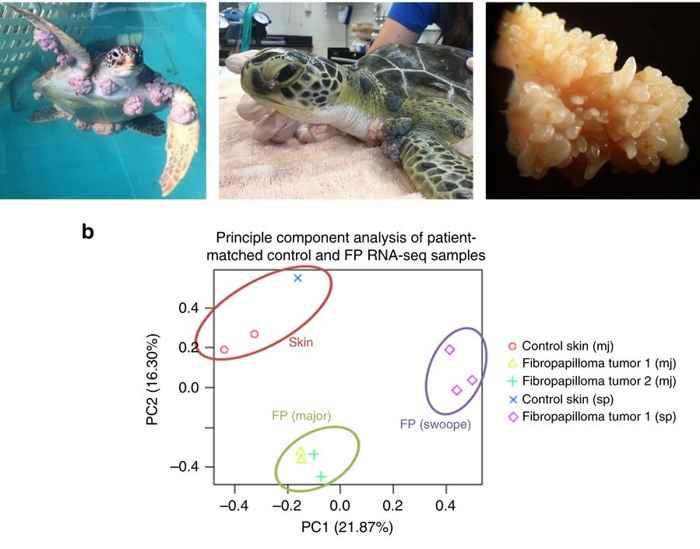 tumores cancerígenos en tortuga verde