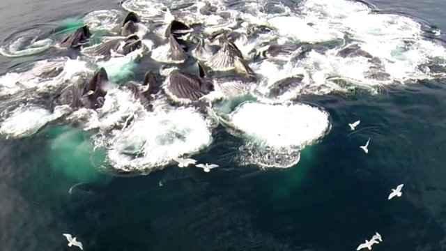 alimentación de las ballenas por red de burbujas
