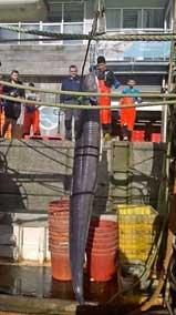 anguila récord