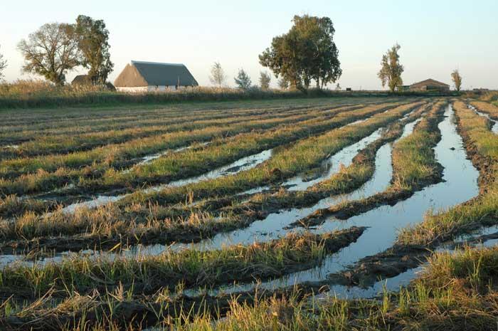 arrozal en el Delta del Ebro, Tarragona
