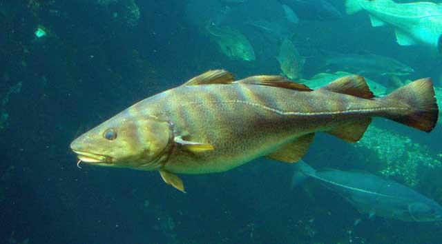 bacalao del Atlántico