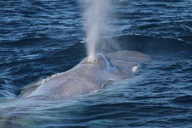 ballena azul pigmea (Balaenoptera musculus brevicauda)