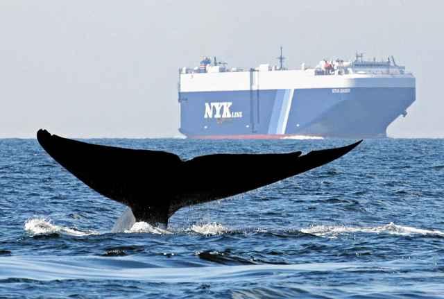 las ballenas no evitan la colisión con buques