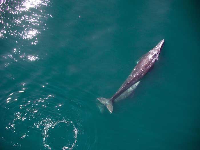 ballena gris y su cría desde un drone