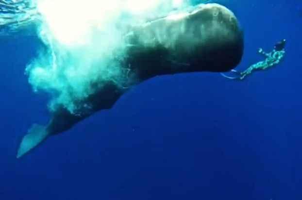 ballena imita a un buzo