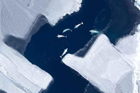 ballenas beluga en el Ártico