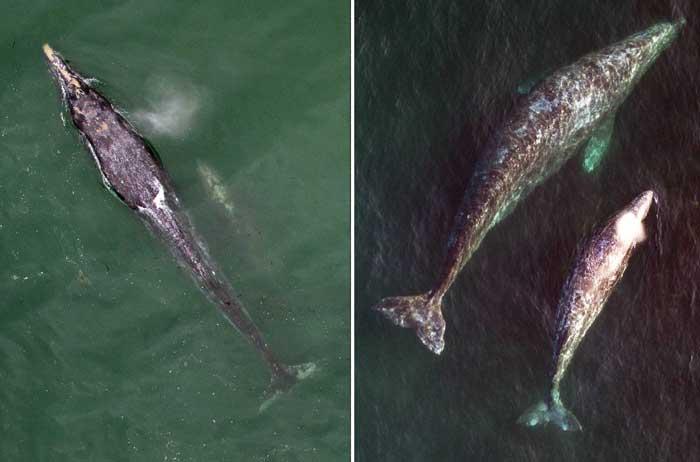 ballenas grises y crías desde un drone