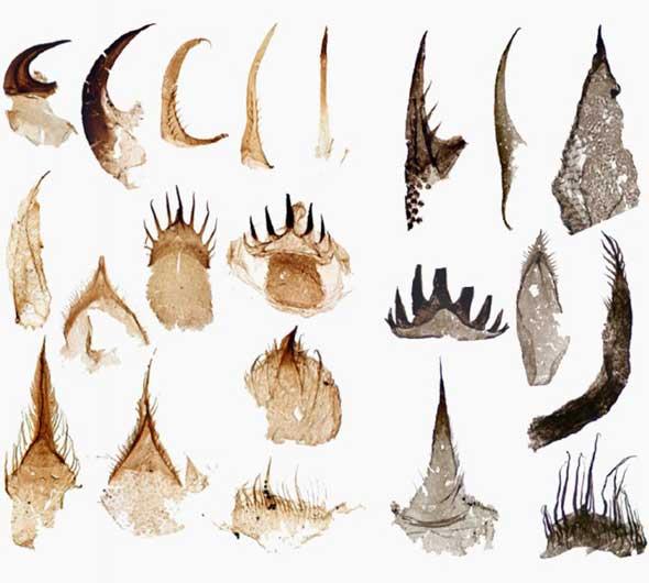 bocas de gusanos pene