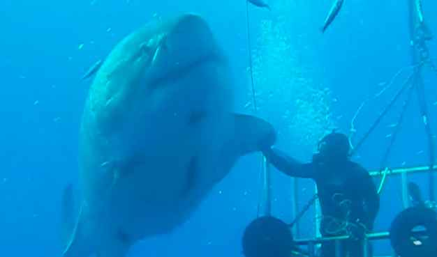 Buzo acosado por un gran tiburón blanco