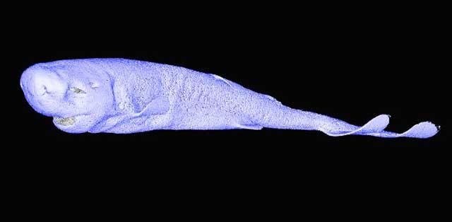 escaner TC de un tiburón de bolsillo