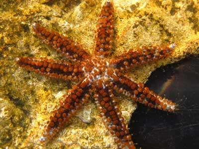 estrella de mar Coscinasterias tenuispina