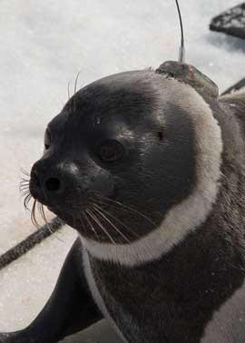 foca listada (Histriophoca fasciata)