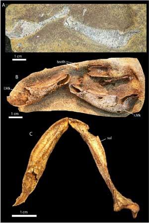fósil de tiburón Gogoselachus lynbeazleyae