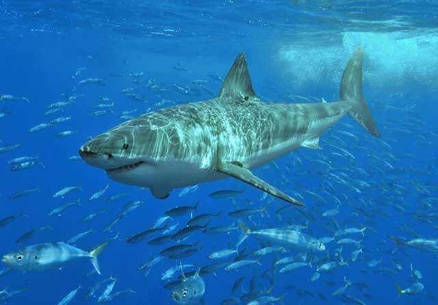 el gran tiburón blanco necesita aguas oxigenadas