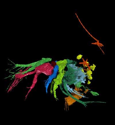 gusano de lengua fosilizado