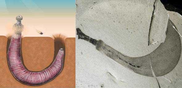 gusanos pene fósiles