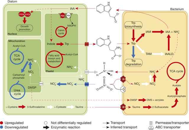 interacción entre bacterias y diatomeas
