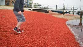 invasión de cangrejos rojos en San Diego