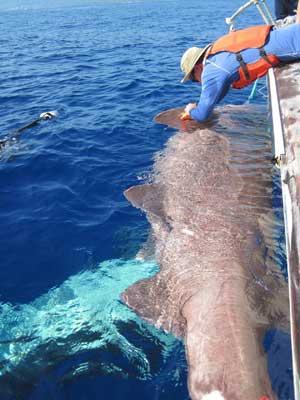 marcado de un tiburón de aguas profundas