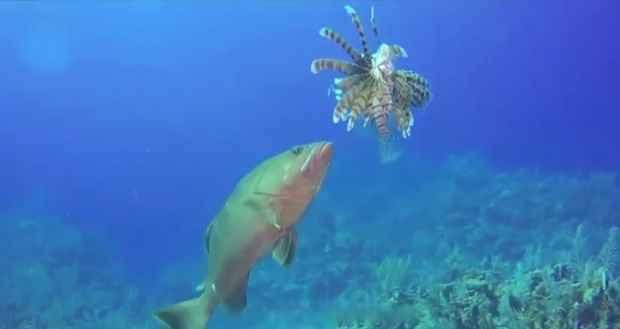 mero devora a un pez león invasivo