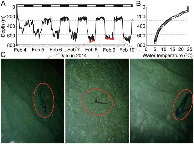 migración vertical de un tiburón cañabota chata