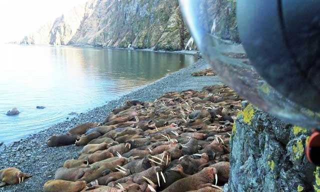 morsas Alaska webcam