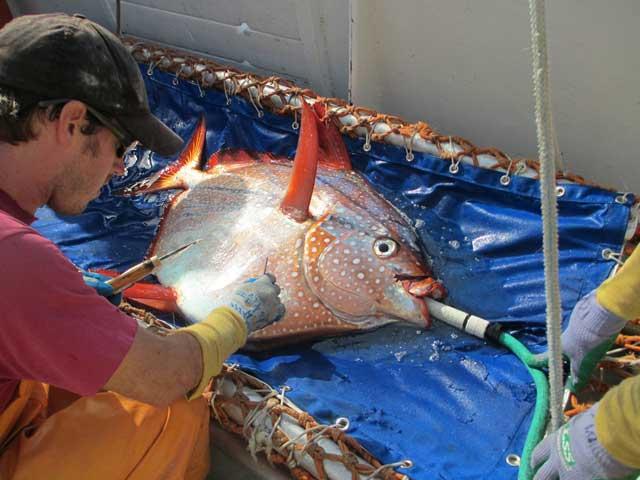 pez opah (Lampris guttatus)