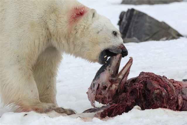 oso polar comiendo un delfín
