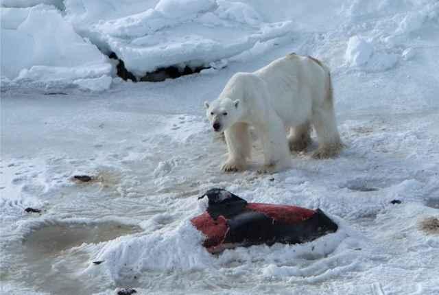 oso polar enterrando un delfín