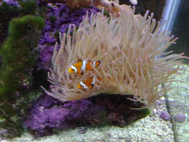 peces payaso (Amphiprion ocellaris)