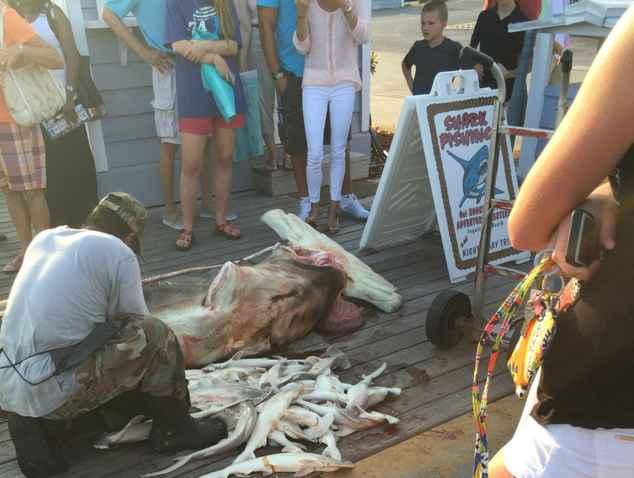 pescador extrae tiburones martillo bebé